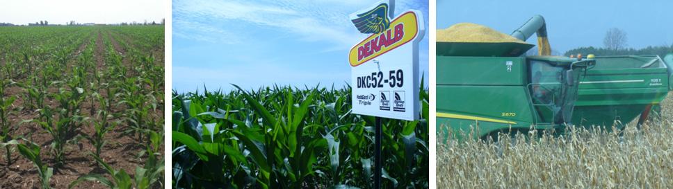 corn-img